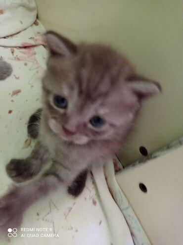 Животные - Маловодное: Скотиш страйт котята. лиловые и шоколадки маленькие
