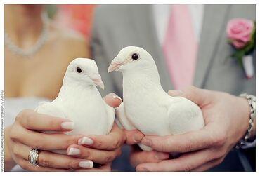 Животные - Раздольное: Продаю голубей белые
