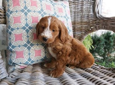 Cockapoo puppy Ready for rehoming both genders available, vaccinated