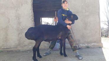 Животные - Теплоключенка: 2зуба рост 95 см фотографии 1 месяц назад  Весс незнаем уши 18 19 см