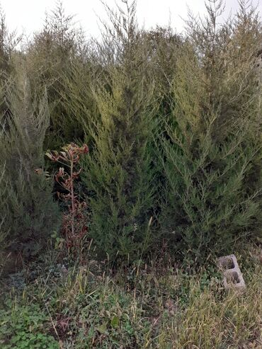 плата в Кыргызстан: Продаю саженцы хвойные. Можжевельник Туя коллоновидная .Деревья Берёза