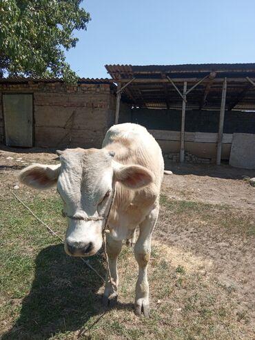 Животные - Арчалы: Продаю бычок