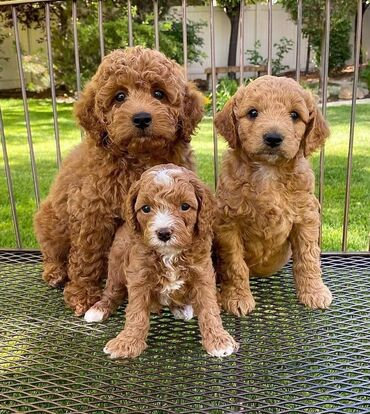 Labradoodle puppies Both genders available, vaccinated and wormed