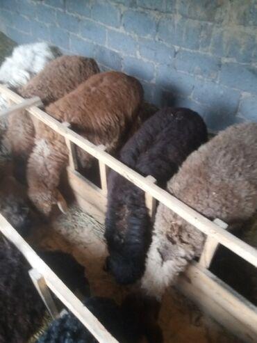 Животные - Селекционное: Бараны, овцы