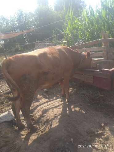 10926 объявлений: Продаю   Корова (самка)   Для молока   После отела