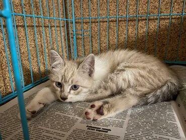 Голубоглазый котенок ищет заботливых хозяев. Это девочка ей 3 месяца