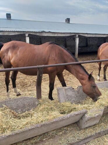 Животные - Селекционное: Касапчы кызматы дайыма сиздер менен боколчу