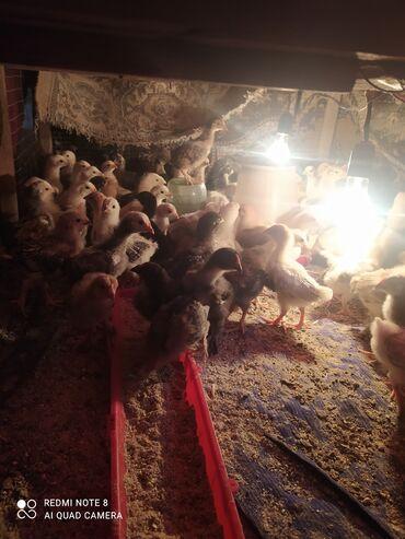 Продаю | Цыплята | Полубрама, Домашняя | Для разведения, Несушки