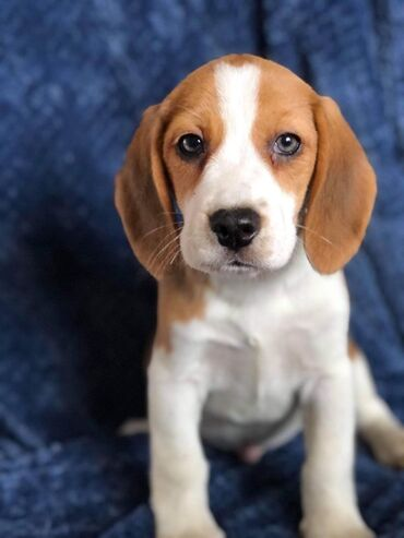 Εδώ παρουσιάζουμε τα υπέροχα κουτάβια Beagle που είναι έτοιμα να επανα