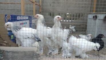 Животные - Нижний Норус: Продаются брамы 2.5 месячные, порода светлая колумбийская