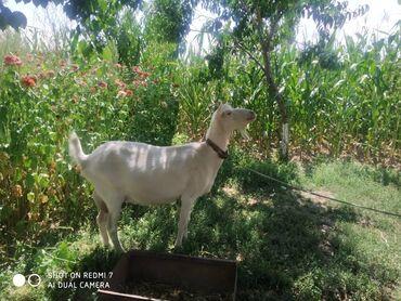 Животные - Джалал-Абад: Продаю | Коза (самка) | Зааненская | Для молока