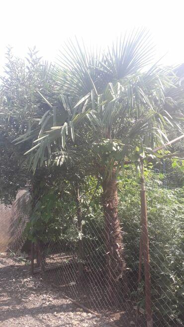 Palma agaclari 2 dene 80 Azn
