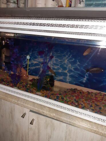 balıq ovu - Azərbaycan: Tecili!!! Bew baliq var akvarium ve butun aksesuarlarla birlikde satil