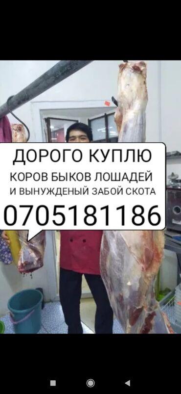 С/х животные - Кыргызстан: КУПЛЮ КОРОВ БЫКОВ ЛОШАДЕЙ ТЁЛОК И ВЫНУЖДЕНЫЙ ЗАБОЙ СКОТА