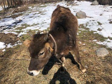 продам теленка в Кыргызстан: Продаю телёнка 1.7месячный продаю срочно прошу 60000с