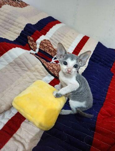 британский короткошерстный котенок в Кыргызстан: Продаю котенка донской сфинкс велюровый браш. 2мес. Мама резинка,папа