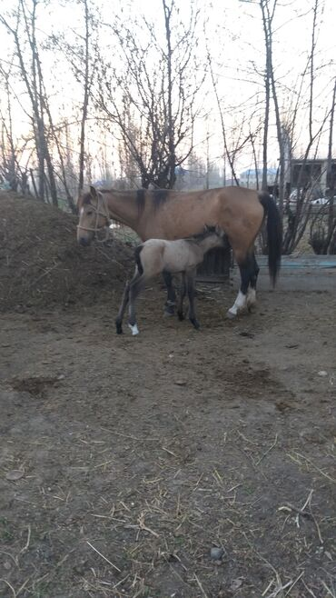 Животные - Кыргызстан: Продаю | Кобыла (самка), Жеребенок | На забой, Для разведения, Для молока