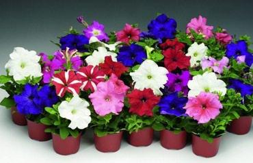 Внимание распродажа клумбовые и садовых цветов по низким ценам