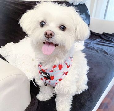 Sweet Maltese loving healthy males and female Maltese puppies availabl