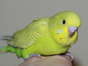 Красивые малыши волнистых попугаев в Бишкек