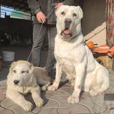 xiaomi mi note 10 цена в бишкеке в Кыргызстан: Продаются отличные щенки породы Алабай(САО). Дата рождения