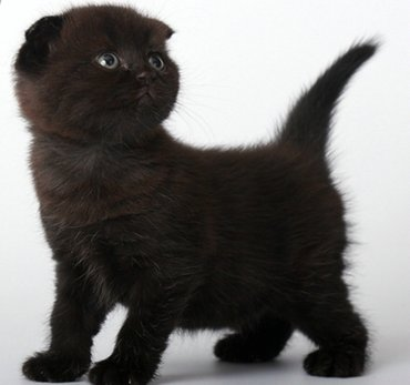 продаются котята шотландской породы два скотишфолда и три скотишстрайт в Токмак
