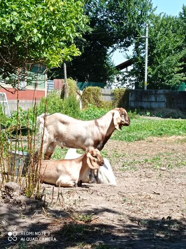 Животные - Беловодское: Продаю козу с козлятами мама заненская отец нубийской породы козлята