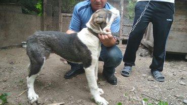 Продаётся Щенок средне азиатская овчарка пол девочка в Кара-Балта