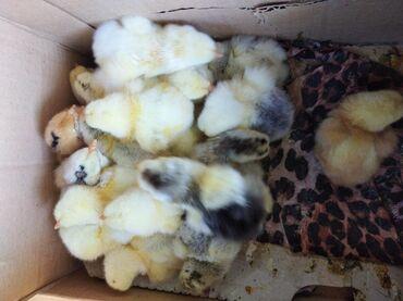 Суточные цыплята брама брамо на 06.06.2020