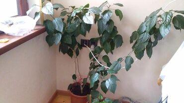 Дом и сад в Нахичевань: Kitayiski roza 30 manat xirdalandadi
