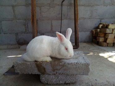 Продаются новозеландские кролики в Бишкек