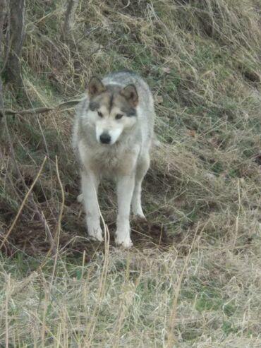 Собаки - Бишкек: Продается собака породы Аляскинский Маламут, не путать с хаски!