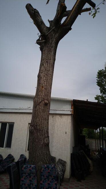 Саженцы - Кыргызстан: Прадаю дерево арех высота 6 метров