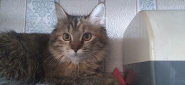 стерилизовать кошку в Кыргызстан: Продаю кошку девочка . Породы мейн-кунНазвание «Мейн-Кун» является