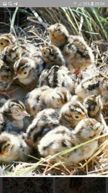 Животные - Токтогул: Фазанята обмен и продажа принимаем заказы. Обмен на петушка шамо