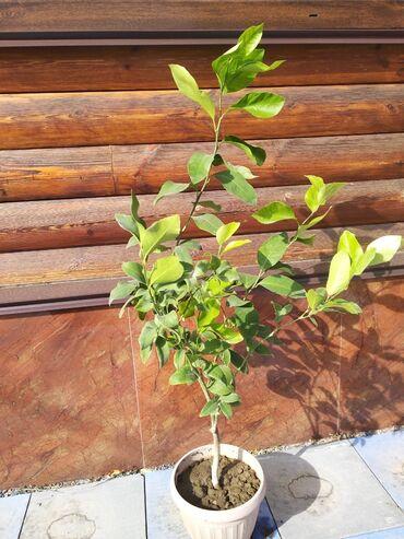 Лимоны - Кыргызстан: Ташкентские лимоны, высота около метра, отлично сформированные
