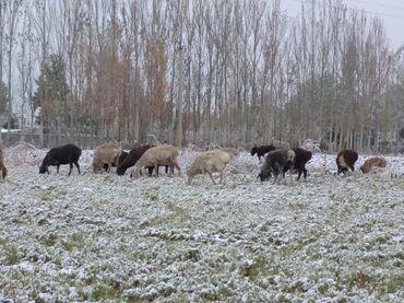 101 объявлений   ЖИВОТНЫЕ: Продаю   Овца (самка)   Полукровка   На забой, Для разведения   Котные, Матка