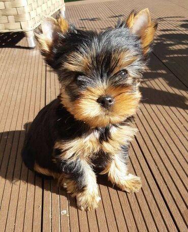 Αγαπώντας το Yorkie terrier έτοιμο για υιοθεσία.Διατίθενται καλά