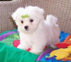 Maltese Dogs and Puppies for sale σε Agios Athanasios