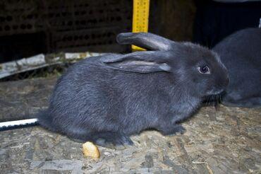Кролики!голубые кроликив продаже имеются молодые кролята. мясо весом