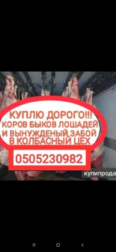С/х животные - Кыргызстан: КУПЛЮ СКОТ В КОЛБАСНЫЙ ЦЕХ ЛЮБОЙ УПИТАННОСТИ И ВОЗРАСТАРАБОТАЕМ С