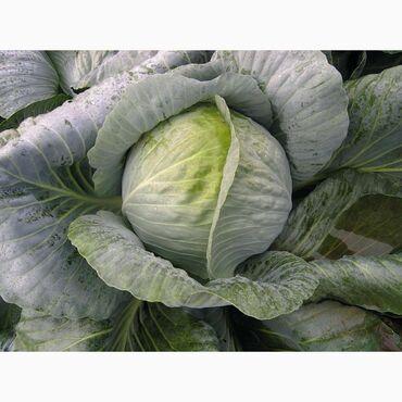 13036 объявлений: Продаю капусту сорта Доминант, для хранения, 1 га примерно 80-100 тонн