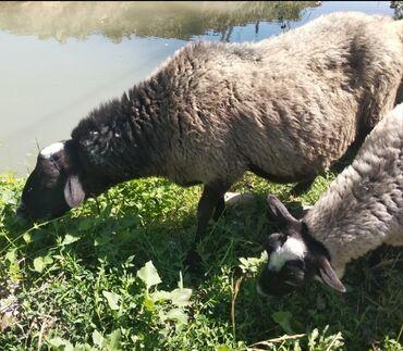 Животные - Талас: Бараны, овцы