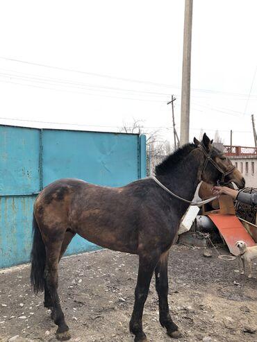 породистые щенки в дар в Кыргызстан: Продаю | Конь (самец), Жеребец | Для разведения | Племенные