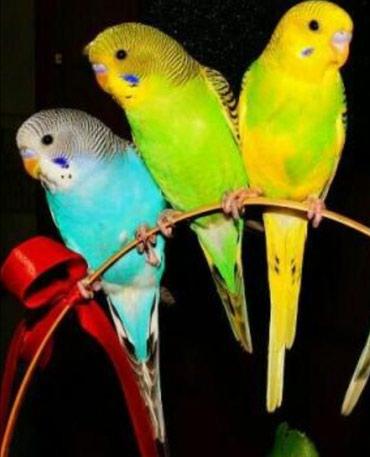 Волнистые попугайчики разных цветов а так же есть другие разные породы