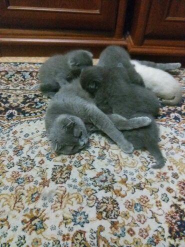 Шотландские котята с документами из клуба 1 месяц окрас голубой