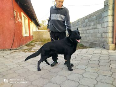 продажа коробок для переезда in Кыргызстан   АВТОЗАПЧАСТИ: Продаю восточной европейскую овчарку, собаке 1 год 8 месяцев, от