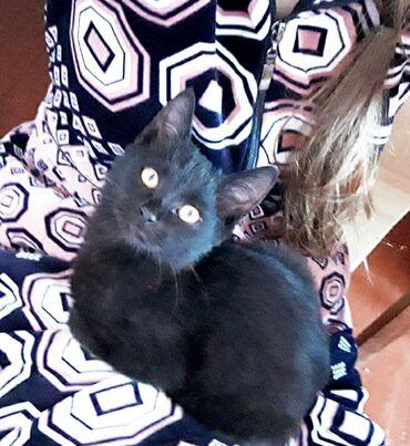 Отдам котенка в добрые руки. 3 месяца. Мальчик. Черного цвета