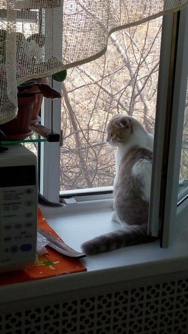 Шотландский фолд кот для вязки. Ждёт в Бишкек