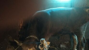 Животные - Дачное (ГЭС-5): Продаю быка11м.и телку7мес